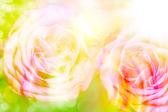 Rose flower close up Stock Photography