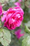 Rose flower close up. Rain drops, garden Stock Photos