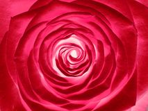 Rose flower, close up. Romantic red rose flower, close up royalty free stock photography