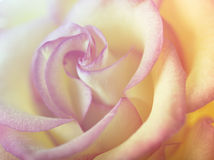 Rose flower close-up Stock Photography