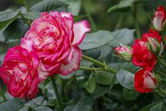 Rose flower close up. Spring flower of pink, red rose. Pink rose spring flower closeup. Natural flower background royalty free stock image