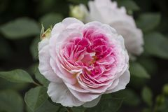 Rose flower closeup. Shallow depth of field. Royalty Free Stock Photography