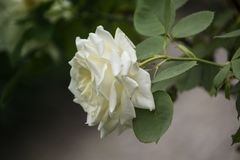 Rose flower closeup. Shallow depth of field. Royalty Free Stock Images