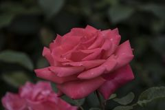 Rose flower closeup. Shallow depth of field. Royalty Free Stock Image