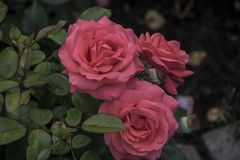 Rose flower closeup. Shallow depth of field. Stock Photo