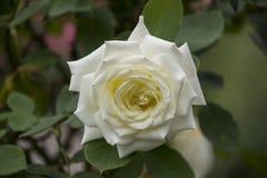 Rose flower closeup. Shallow depth of field. Stock Photos
