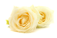 Rose flower closeup on white Royalty Free Stock Photo