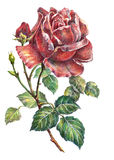Rose flower, color pencil, illustration Stock Photo