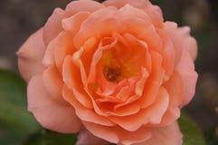Rose Flower Coral Color foto de archivo
