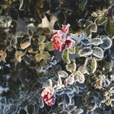 Rose flower covered with hoarfrost royalty free stock photography