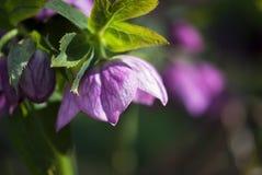 Rose Flower cuaresmal rosada Fotografía de archivo libre de regalías