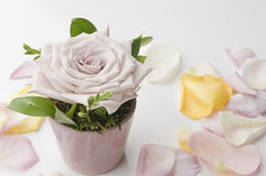 Rose flower decoration with petals Royalty Free Stock Photo