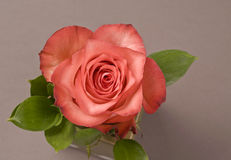 Rose flower decoration Royalty Free Stock Photos