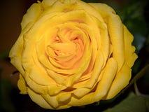 Rose Flower Detail Beautiful amarela Fotografia de Stock Royalty Free