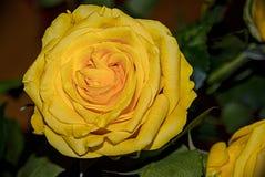Rose Flower Detail Beautiful Close-Up amarela Imagem de Stock Royalty Free