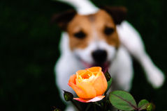 Rose flower and a dog. Orange flower and shape of dog at background Stock Photo