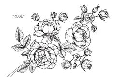 Rose flower drawing and sketch. Royalty Free Stock Images