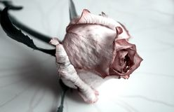 The rose flower is dried, withered. Pink roses. Flowers. Use printed materials, signs, items, websites, maps, posters, postcards,. Packaging royalty free stock photos