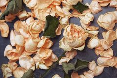 Rose flower and fallen petals. Close-up view stock photography