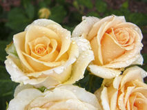 Rose Flower Fiori Immagini Stock Libere da Diritti