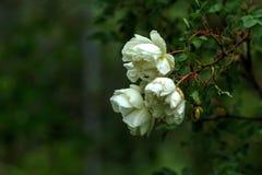 Rose Flower Fleur de jardin Photos libres de droits