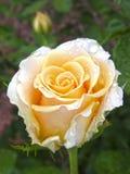 Rose Flower Fleurs photographie stock