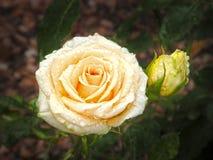 Rose Flower Flores Fotografía de archivo libre de regalías