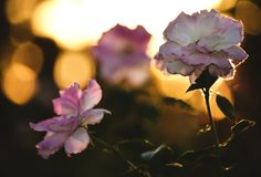 Rose pink flowers at sunset stock photography