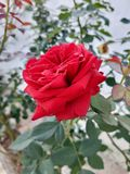 Rose flower  stock photography