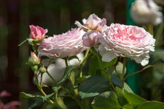 Rose flower in the foliage closeup Royalty Free Stock Photos