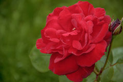 Rose flower in the foliage closeup. Red rose flower in the foliage closeup Stock Photo