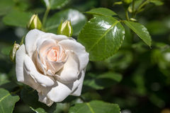 Rose flower in the foliage closeup Stock Photography