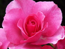 Rose flower. A full-blown rose against black background Royalty Free Stock Photos