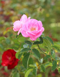 Rose flower in the garden Royalty Free Stock Images
