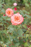 Rose flower in the garden Stock Photography