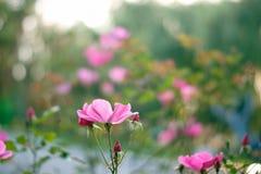 Rose flower garden. Colourful rose flower garden in full bloom Stock Photo