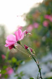 Rose flower garden. Colourful rose flower garden in full bloom Royalty Free Stock Image