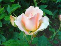 Rose in the flower garden. Stock Photography