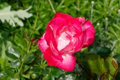 Rose flower in a garden Stock Image