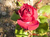 Rose in a flower garden. Stock Photo