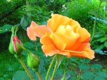 Rose in the flower garden. Stock Images