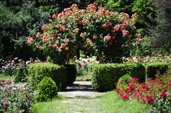 Rose Flower Gardening. Photo of the Rose Flower Gardening and Landscaping Stock Image