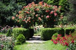 Rose Flower Gardening Stock Image