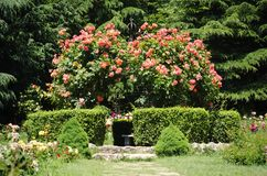 Rose Flower Gardening. Photo of the Rose Flower Gardening and Landscaping Stock Photography