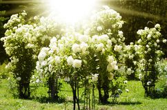 Rose Flower Gardening Stock Photos