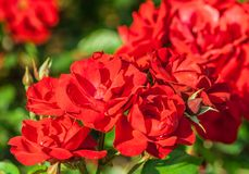 Rose flower grade andalusien, dense clusters of bright red flowers in full bloom. Lit by sunlight, summer period, against background green foliage and blurred royalty free stock images