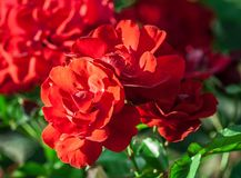 Rose flower grade andalusien, dense clusters of bright red flowers. In full bloom, lit by sunlight, summer period, background of green foliage and blurred roses royalty free stock photo