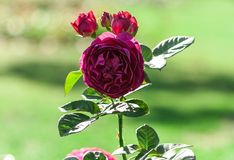 Rose flower grade ascot, globular terry purple-violet flowers. One in bloom and three buds, in the background a green blurred grass, a plant in the garden stock photography