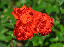 Rose flower grade fidelio, group bright orange-red flower. In full bloom against a background of light green foliage plants, illuminated by sunlight, summer day Stock Photo