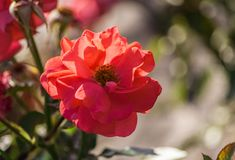 Rose flower grade rosi mittermaier, one bright orange-pink-red flower in full bloom. Against the background of the foliage of the plant, illuminated by sunlight Royalty Free Stock Photography